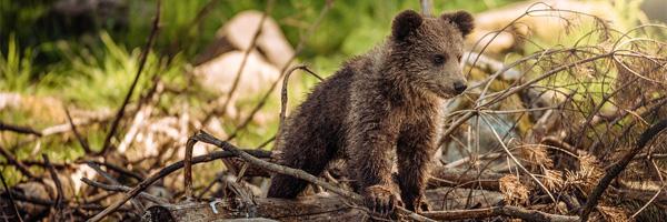 urso pardo portugal filhote de urso - Pela Primeira Vez em Quase Dois Séculos, Foi Avistado um Urso Pardo em Portugal