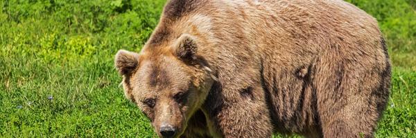 urso pardo portugal grande urso - Pela Primeira Vez em Quase Dois Séculos, Foi Avistado um Urso Pardo em Portugal