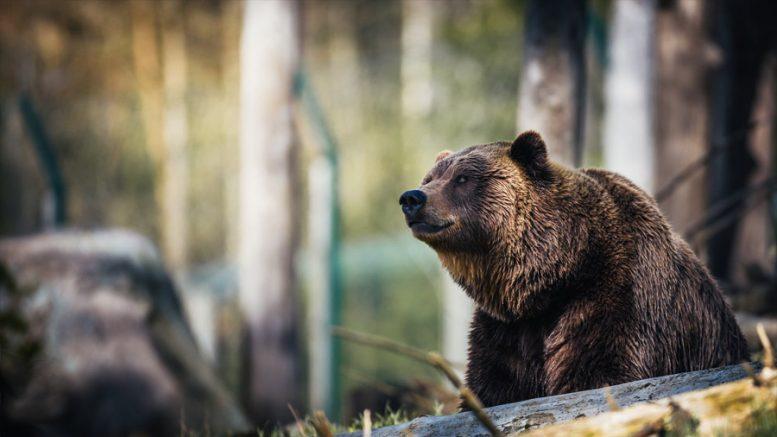 urso-pardo-portugal-região-selvagem